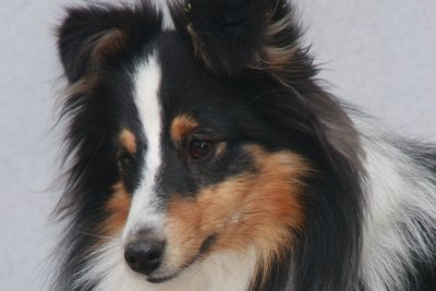 Sheltie hos Topperteam Fine