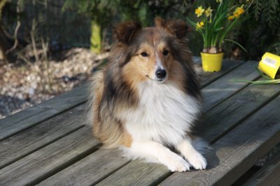 Sheltie hos Topperteam Chrunchie